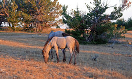 Wild Horse at sunset - Blue Roan Colt on Tillett Ridge in the Pryor Mountains of Montana USA. Wild Horse at sunset - Blue Roan Colt on Tillett Ridge in the Pryor Stock Photos