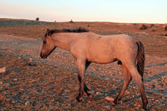 Wild Horse at sunset - Blue Roan Colt on Tillett Ridge in the Pryor Mountains of Montana USA. Wild Horse at sunset - Blue Roan Colt on Tillett Ridge in the Pryor Royalty Free Stock Image