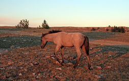 Wild Horse at sunset - Blue Roan Colt on Tillett Ridge in the Pryor Mountains of Montana USA. Wild Horse at sunset - Blue Roan Colt on Tillett Ridge in the Pryor Royalty Free Stock Photo