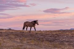 Wild Horse at Sunset in the Desert. A wild horse in a beautiful Utah desert sunset Stock Photography