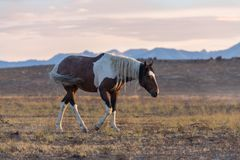Wild Horse at Sunset Royalty Free Stock Photos