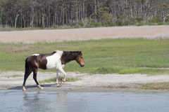 Wild horse. After swimming the channel, Assateague Island Stock Photo