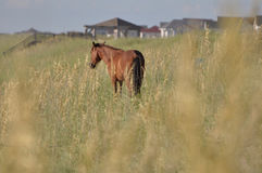 Wild horse in tall grass. OBX Outer Banks of North Carolina wild royalty free stock images