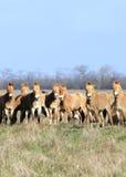 Wild horse-tarpan Royalty Free Stock Images
