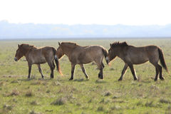 Wild horse-tarpan Royalty Free Stock Photo