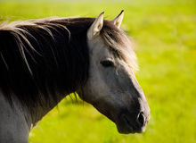 Wild horse (tarpan). On green background Stock Photos