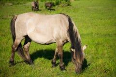Wild horse (tarpan). On the field Stock Photo