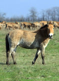 Wild horse-tarpan in nature reserve Royalty Free Stock Images