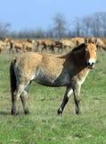 Wild horse-tarpan in nature reserve. Tarpan in Ascania-Nova park. Ukraine royalty free stock images