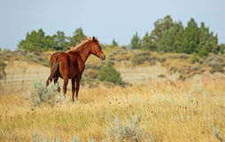 Wild horse. In Theodore Roosevelt National Park, North Dakota Royalty Free Stock Photo