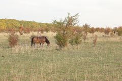 Wild Horse, Traviny Nature Reserve. Wild horse or exmoor pony grazing on natural grassland in Traviny Nature Reserve, Czech Republic. Shaping natural landscape royalty free stock photo