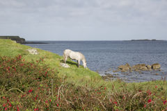 Wild Horse at Tully; Connemara; Galway Royalty Free Stock Images