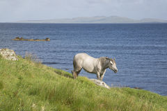 Wild Horse at Tully; Connemara; Galway Stock Photography