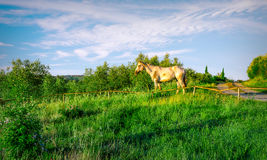 Wild horse in Tuscany Stock Images