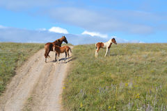 Wild horse. A wild horse and two foals graze in steppe in a summer day Royalty Free Stock Photos