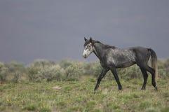 Wild horse walking Royalty Free Stock Photo