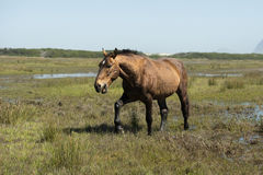 Wild horse walking Stock Photo
