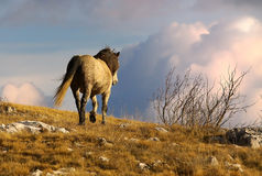 Wild horse walking in the mountains Royalty Free Stock Photography