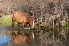 Wild Horse Walking in the  Salt River Stock Photo
