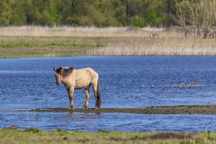Wild Horse In The Wetlands Royalty Free Stock Images
