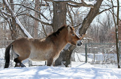Wild Horse in winter Royalty Free Stock Images
