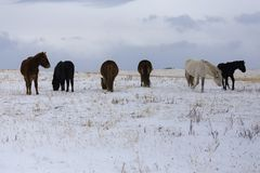 Wild horse on the winter field. Royalty Free Stock Images