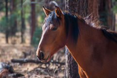 Wild Horse Royalty Free Stock Photography
