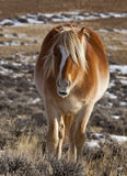 Wild horse in Wyoming winter Royalty Free Stock Photography