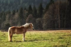 Wild horse on yellow green medow near forest. Wild gold horse on yellow green medow on the edge of European forest Stock Photography