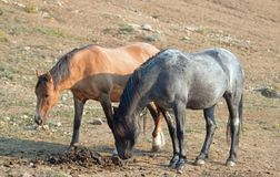 Liver Chestnut Bay Roan stallion sniffing a manure stud pile next to a Dun mare in the Pryor Mountains Wild Horse Range Montana US Royalty Free Stock Image