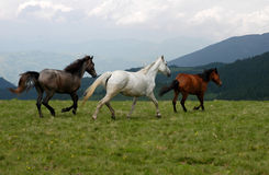 Wild horses. In romanian moutains stock images