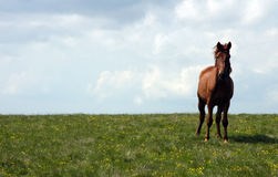 Wild horses. In romanian moutains royalty free stock images