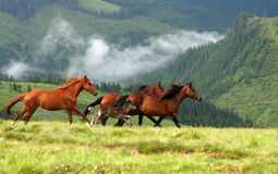 Wild horses. In romanian moutains stock photography