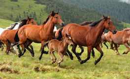 Wild horses. In romanian moutains Stock Photo