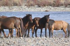 Wild horses Stock Images