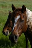 Wild Horses. Two bay horses in a pasture Royalty Free Stock Photography