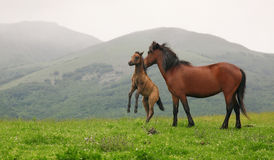 Wild horses. In Central Balkan National Park(Stara planina mountain Stock Photos