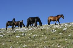 Wild Horses Royalty Free Stock Images