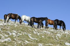Wild Horses Royalty Free Stock Photography