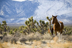 Wild Horses. In the desert near Las Vegas Stock Photos