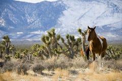 Wild Horses. In the desert near Las Vegas Royalty Free Stock Images