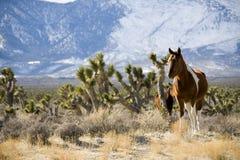 Wild Horses. In the desert near Las Vegas, Nevada Royalty Free Stock Photos