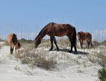 Wild Horses. Three wild horses grazing in the dunes on Cumberland Island, Georgia royalty free stock photography