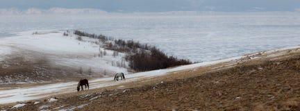 Wild Horses. A herd of horses . Baikal, Olkhon Royalty Free Stock Image