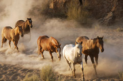 Wild Horses. Running free in the dessert royalty free stock photo