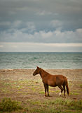 Wild horses 2 Royalty Free Stock Image