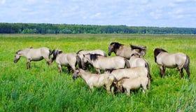 Wild horses. Royalty Free Stock Photos