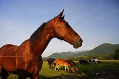 Wild Horses. In Cades Cove, Great Smokey Mountains National Park royalty free stock images
