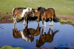 Wild horses Stock Photos