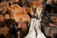 Wild horses. Herd of wild horses, ready to tame, in Galicia, Spain Royalty Free Stock Images